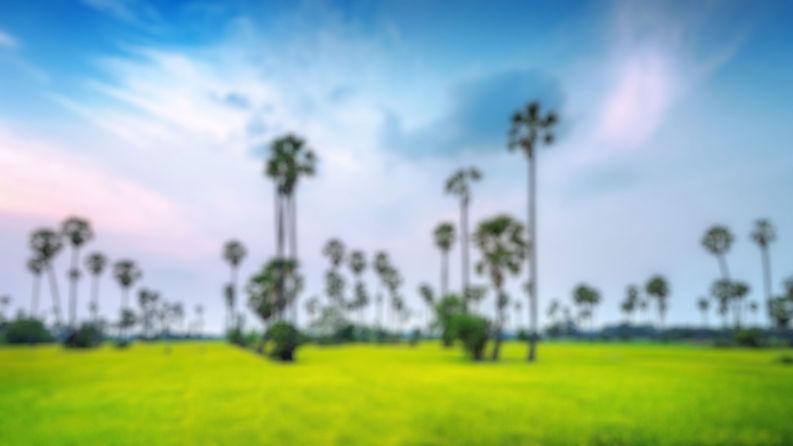 landscape-sugar-palm-rice-field_Resize_B