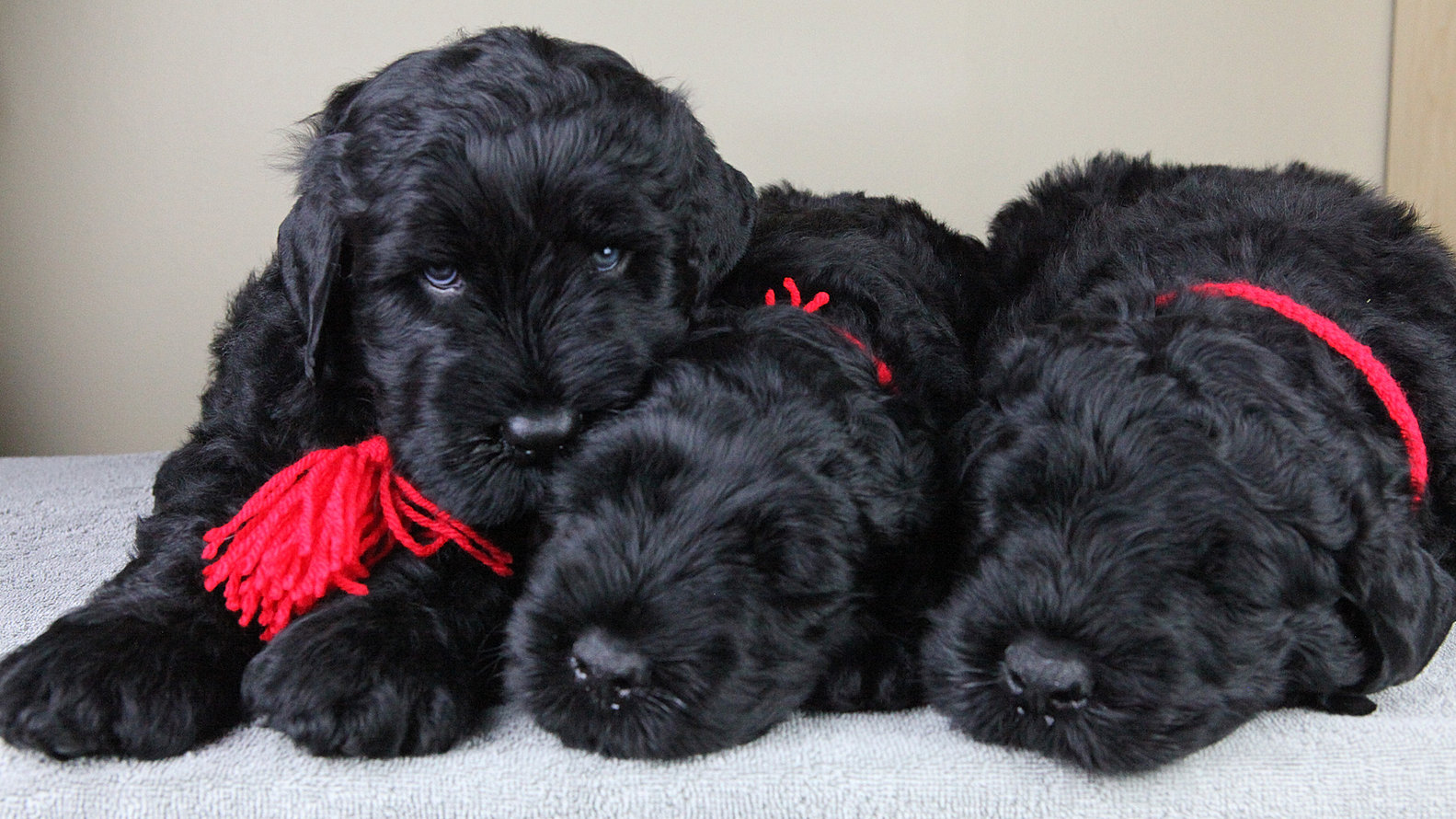 Terrier russian black – Dogs our friends photo blog
