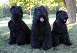 Milana-with-her-18mo-puppies-Gish-and-Glasha
