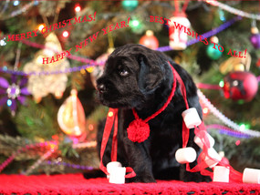 Merry Christmas and Happy New Year from Zastava Kennel to all our friends!