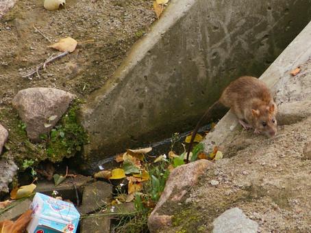 Rat problems plague Port aux Basques