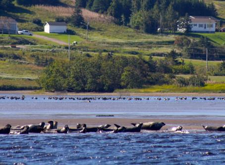 Codroy seals won't harm bird habitat
