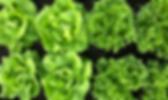 lettuce-the-little-urban-farm.png