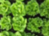 lettuce%20from%20organic%20farm%20thaila