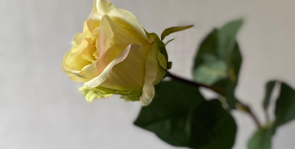Classic Cream Rose