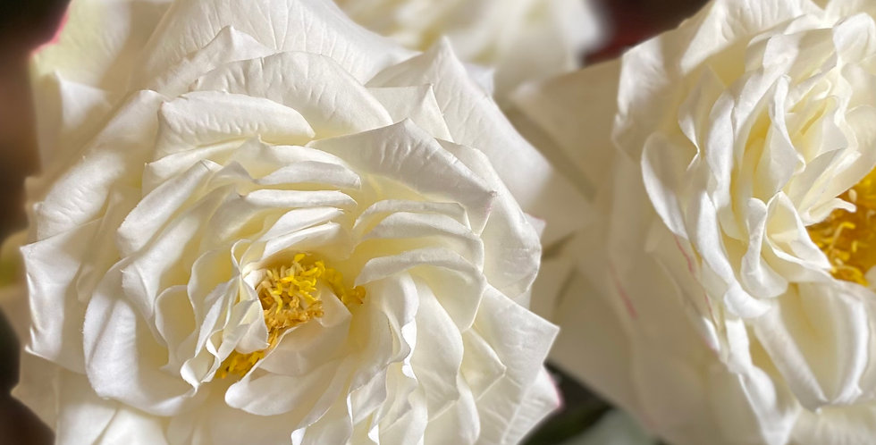 Large Headed White Rose