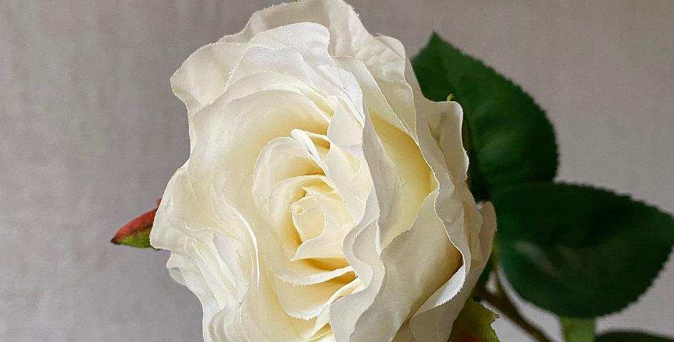 Cream Rose