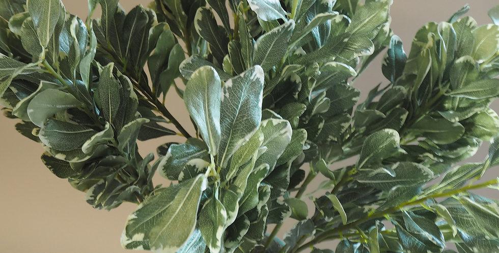 Pitto Foliage