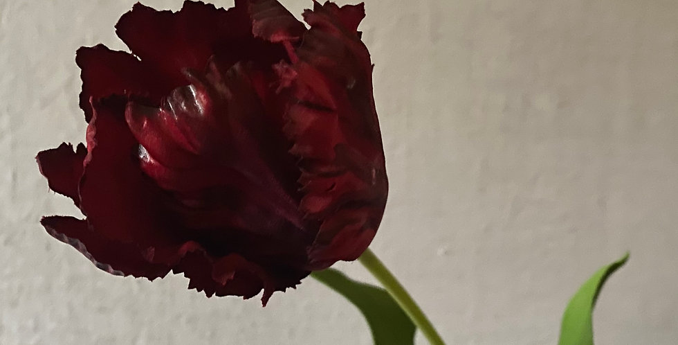 Burgundy Parrot Tulip