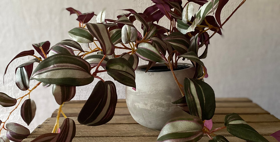 Trailing Variegated Plant