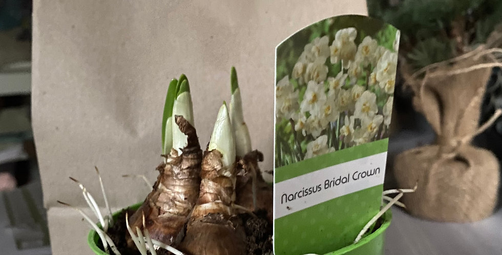 Token Gift - Narcissus Pot