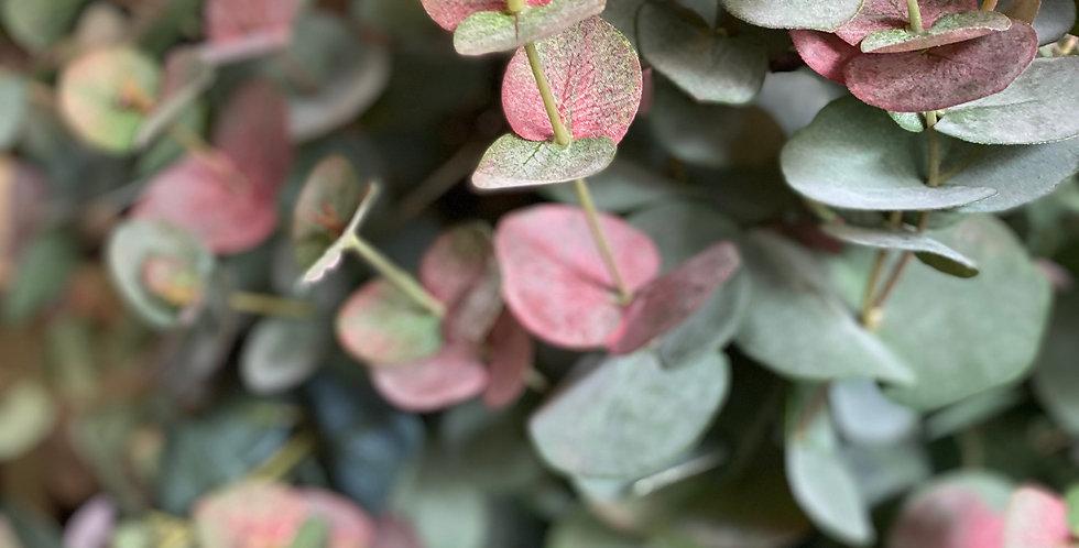 Blush Eucalyptus Cinerea