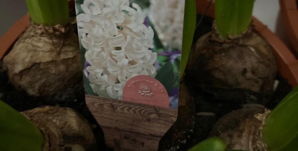 Hyacinth Pots