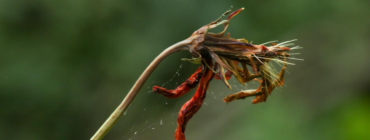 flor semente
