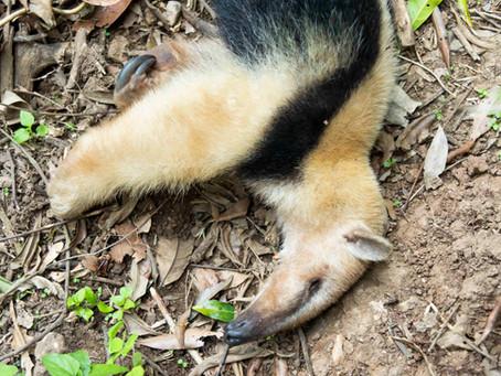 Há tamanduás no sul do Brasil