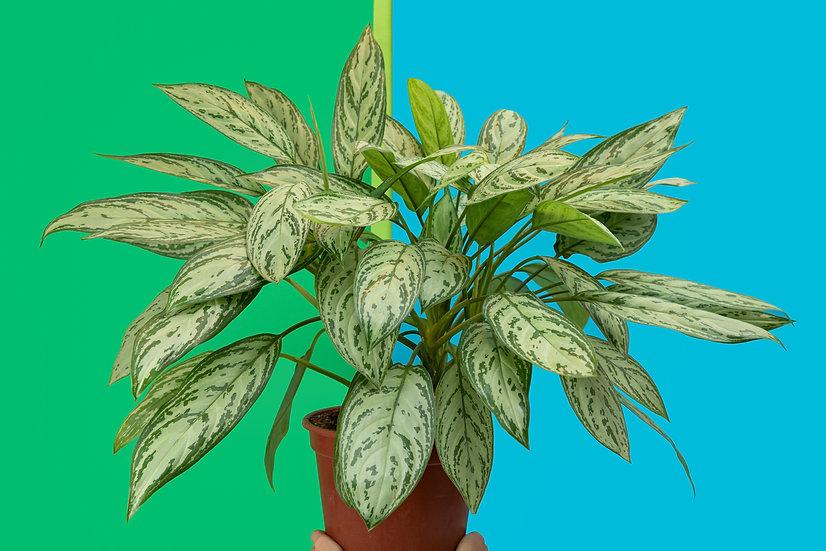 אגלאונמה סילבר קווין Aglaonema - Chinese evergreen