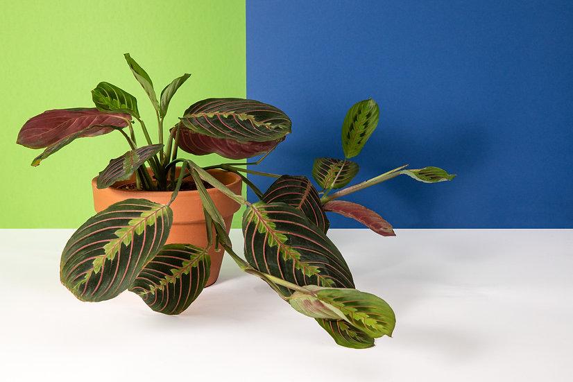 מרנטה - צמח התפילה Maranta - Prayer plant