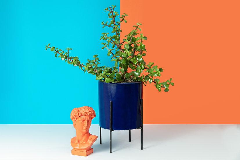 ג׳ייד - צמח הכסף crassula Ovata - Jade
