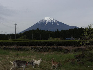 富士山と山羊ファミリー