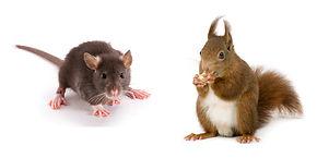 rat-and-squirrel.jpg