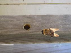 Battling Carpenter Bees