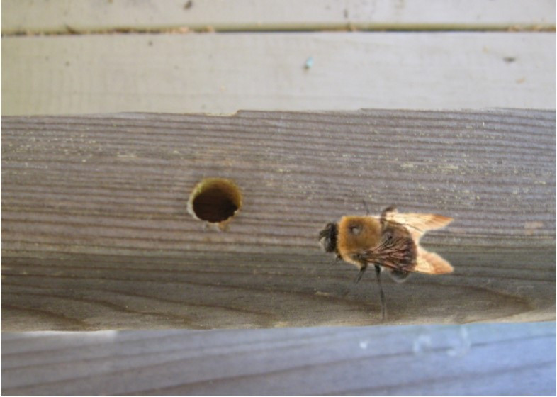 CARPENTER BEES.jpg