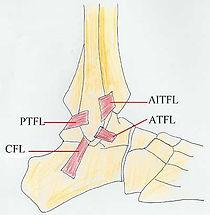 足踝韌帶簡圖