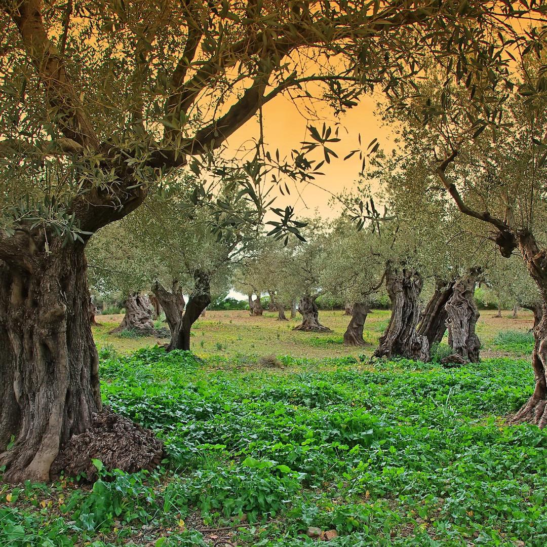 Griekse olijfolie van Olimato komt uit de Kalamata streek uit de Peloponessos.
