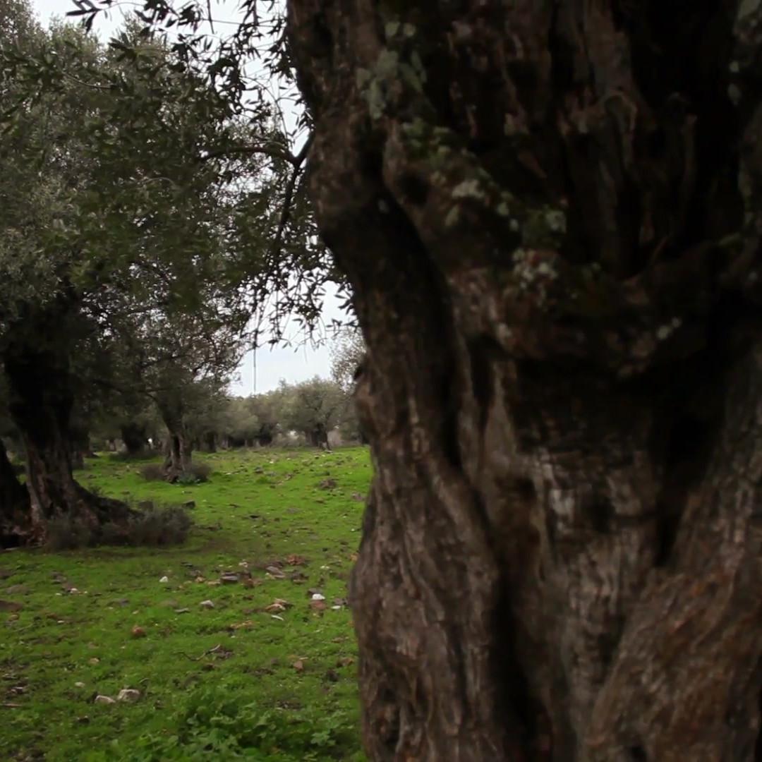 Griekse olijfolie van Olimato uit de Kalamata streek. Een Grieks-Nederlands familieproduct van eigen bodem.