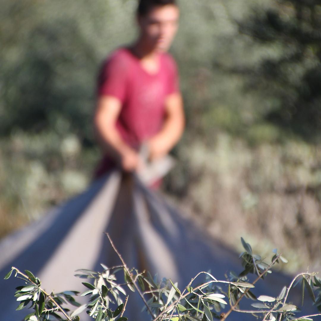 Griekse olijfolie van Olimato komt uit de Kalamata streek uit de Peloponessos en wordt met de hand geplukt.