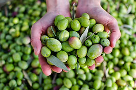 Griekse olijfolie van Olimato is onbespoten en met de hand geplukt en heeft een zuurgraad lager dan 3%