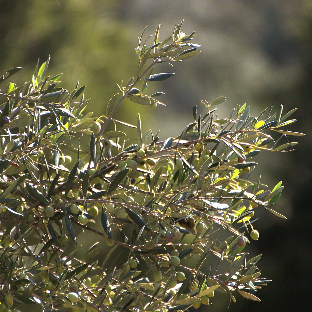 Olimato Griekse olijfolie komt uit de Kalamata streek uit de Peloponessos.