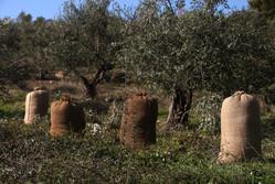 Griekse olijfolie van Olimato heeft een heel proces doorlopen voordat het uiteindelijk als olijfolie gebotteld kan worden.