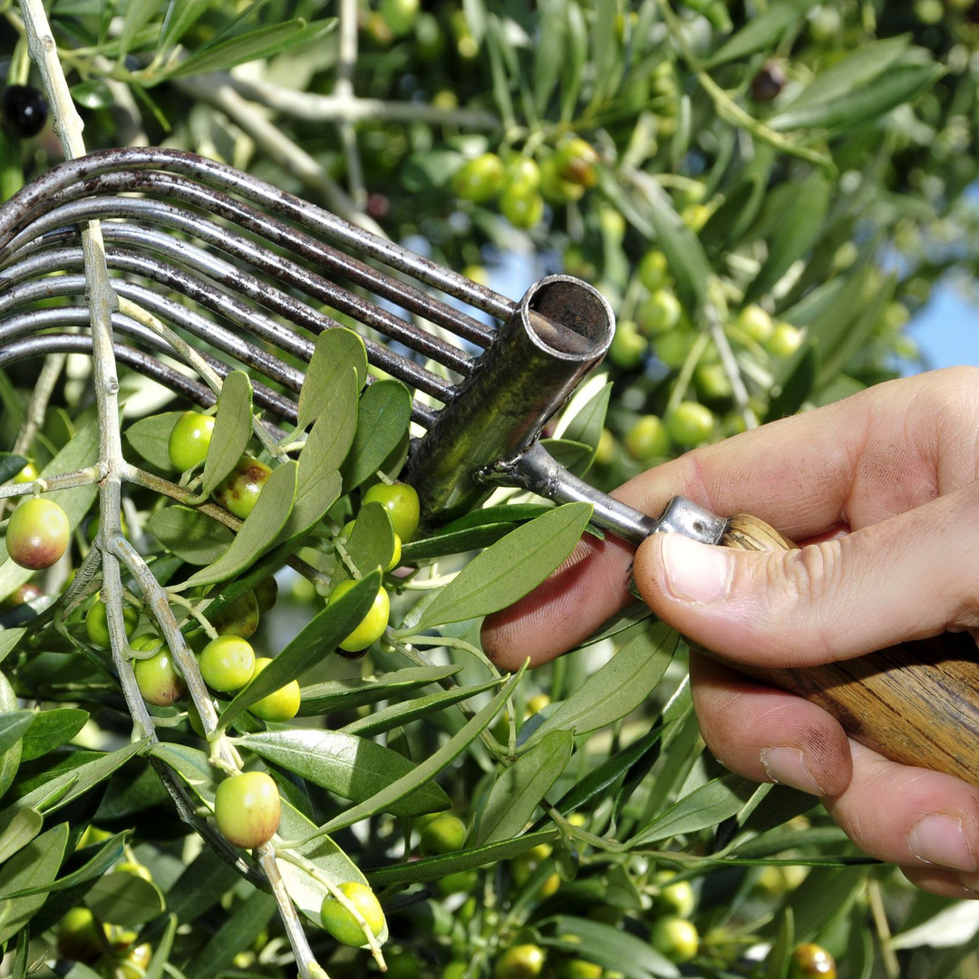 Voor de Griekse olijfolie van Olimato worden alleen de beste olijven geslecteerd in de maand november.