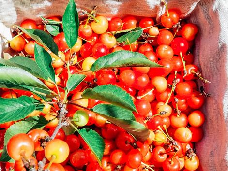 Harvesting Cherries with Kids