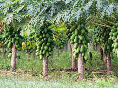 Papaya Cultivation Cost and Profits in India| Pest and Disease control