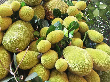Jackfruit Cultivation| Health Benefits| Pet and Disease control| Bestpractiz-Agri
