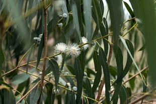 Eucalyptus or Gum Tree