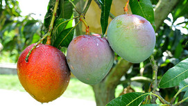 Mango Varities