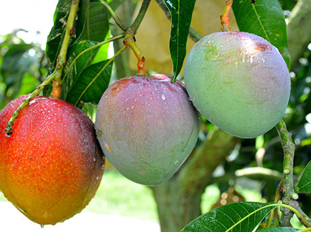 Different Mango Varieties Cultivation| Which is Best Mango variety to Cultivate| BestPractiz-Agri