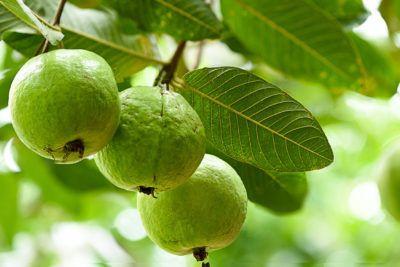 Guava Varieties to cultivate in India| BestPractiz-Agri