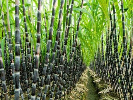Sugarcane Cultivation| Health Benefits| Pest & Disease Control| Profits| BestPractiz-Agri