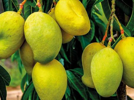 Mango Cultivation| Health Benefits| Pest And Disease Control| Profits| BestPractiz-Agri