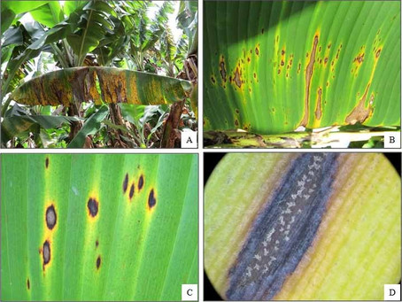 Banana-Pest and Disease Control in India| How to control Problems In Banana| BestPractiz-Agri