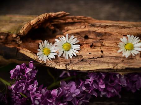 Sandalwood Cultivation In India| Health Benefits| Pest and Disease Control| BestPractiz-agri