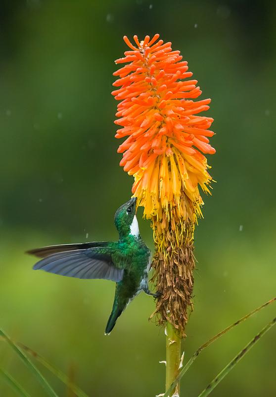 Beija-flor-de-papo-branco