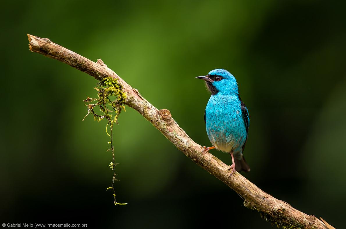 Saí-azul