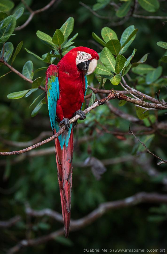 Arara-vermelha-grande