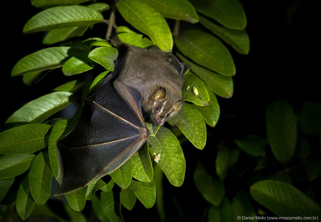 Morcego-das-frutas