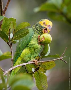 Papagaio-galego